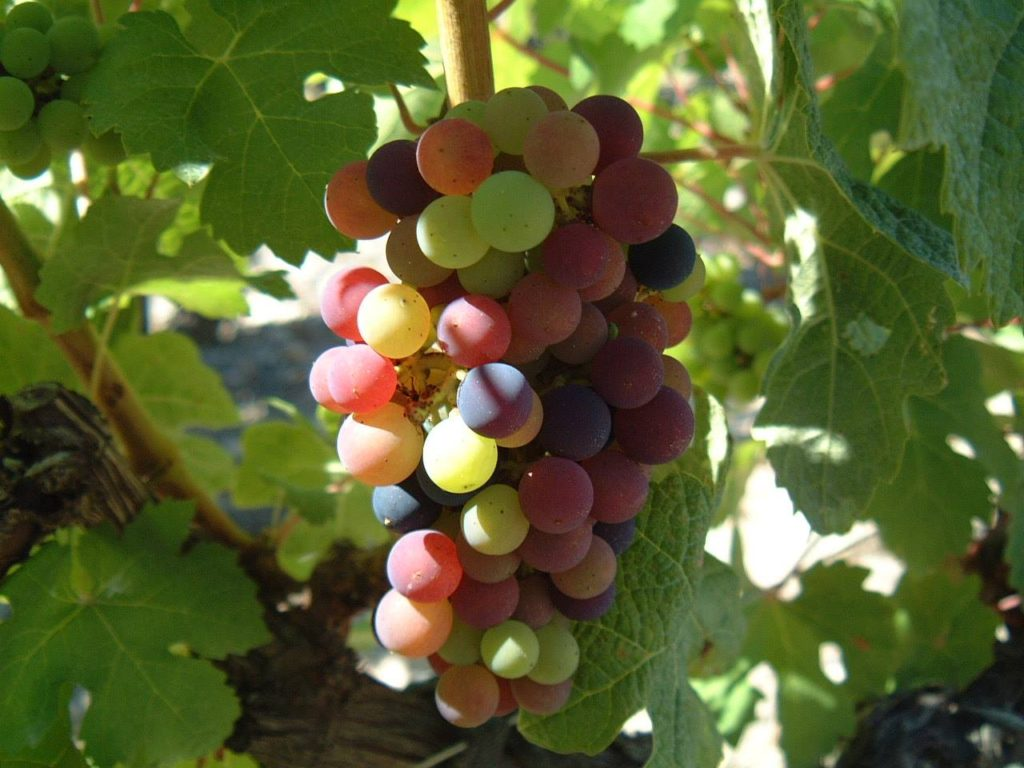 Temperatures are reaching peeks in South of France, the summer promises to be hot. At Domaine Clos du Caillou the time of veraison has come.2