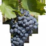【赤ブドウ品種】グルナッシュ・ノワール Red Grenache