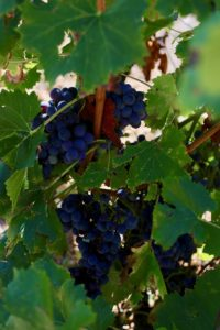 mourvedre2