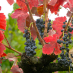 CARIGNAN: a secondary grape variety used in Rhône & Provence