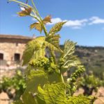 Blossoming has started at Domaine du Gros Noré, Bandol AOC.