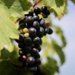 南仏の代表的なブドウ品種